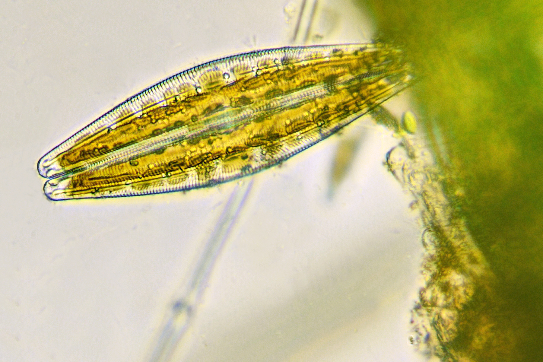 Researchers to explore the genetics of carbon-capturing algae