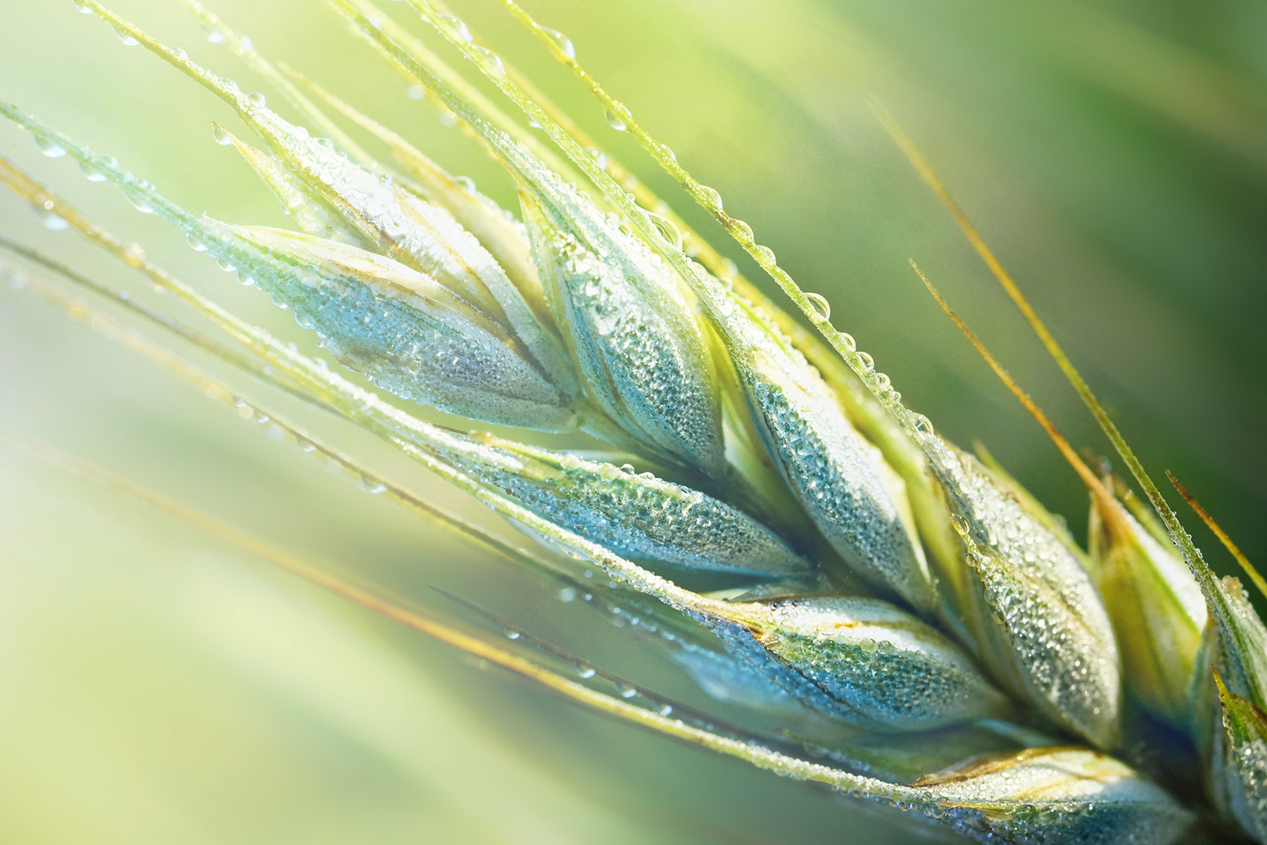 Beyond wheat: expanding genetic resources to meet global food demand