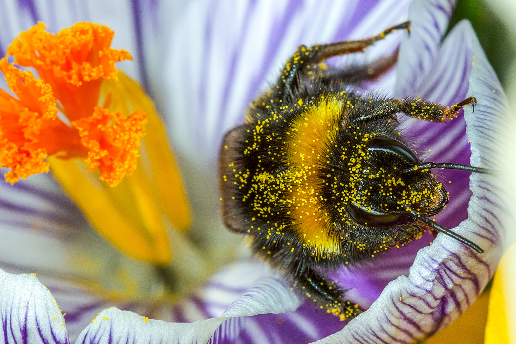 Population Genomics of Pollinating Insects