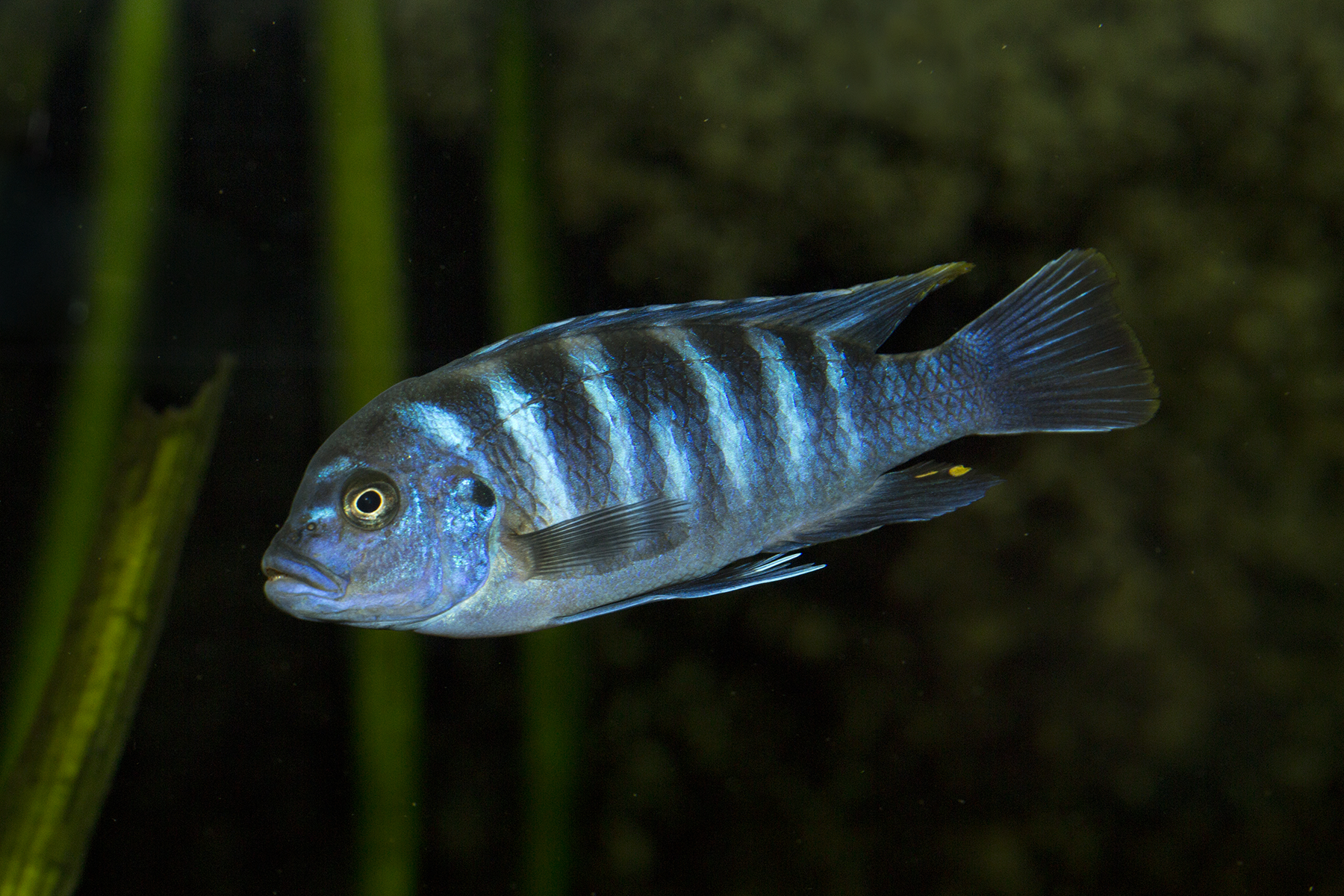 DNA deck shuffled in rapid cichlid evolution