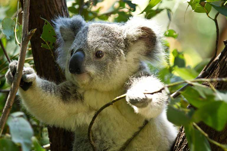 Koala genome cracked Down Under to help save species