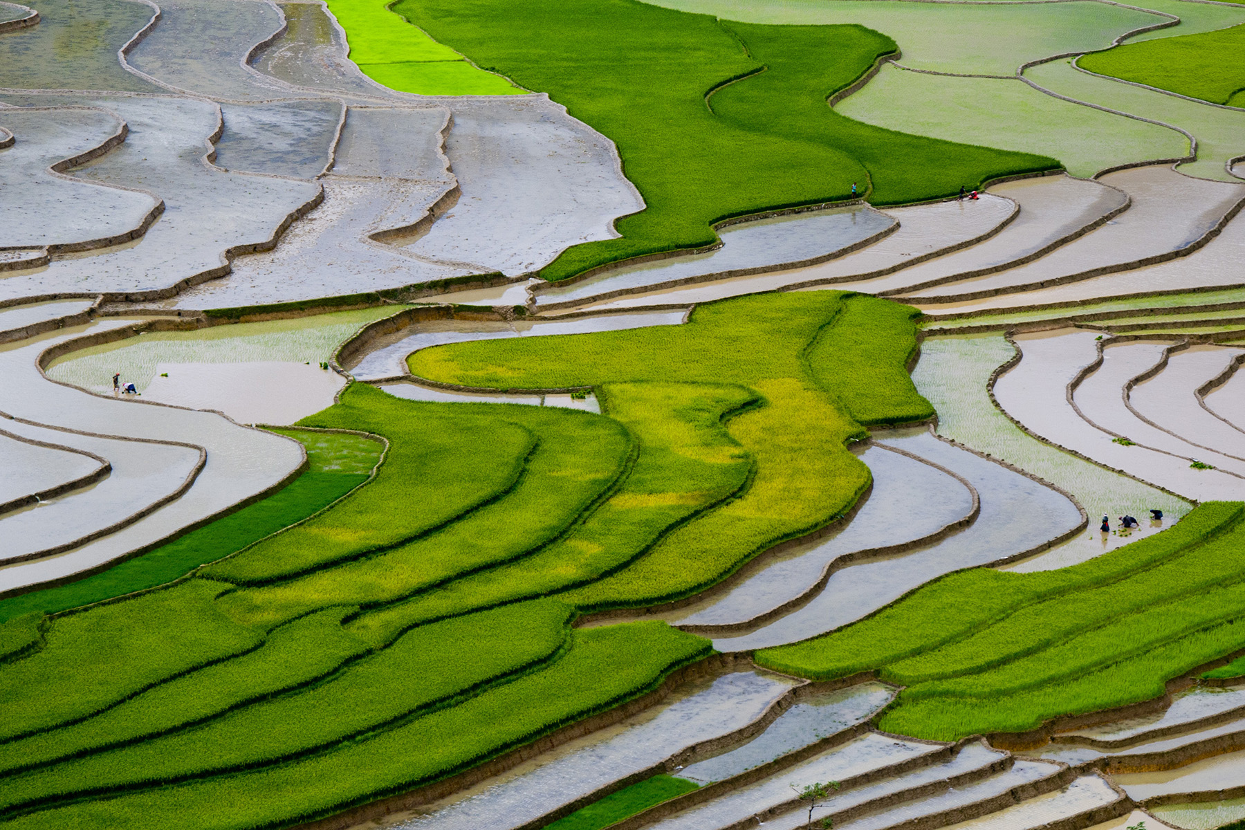 Untapped rice varieties could sustain crop supplies in face of climate change