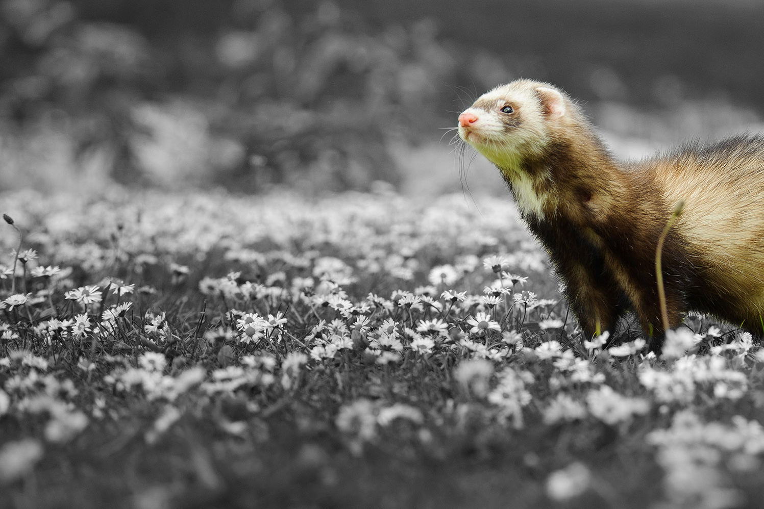 Are polecat-ferret hybrids good for conservation?
