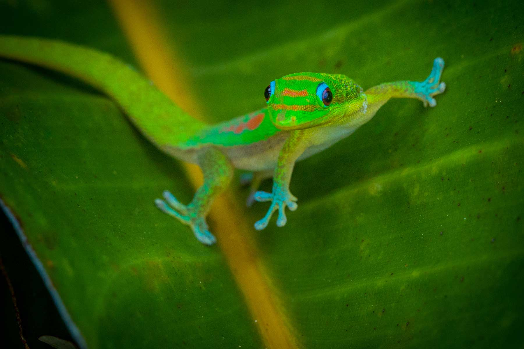 RADical solutions: saving a species of Madagascan gecko from extinction