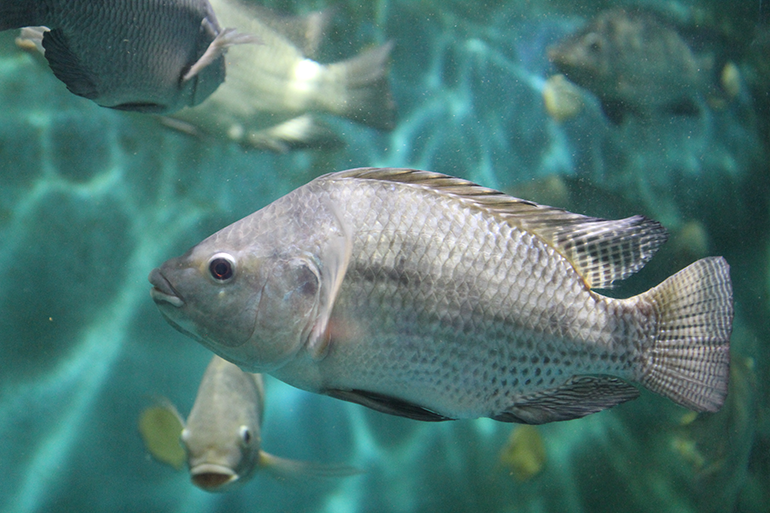 Image of silvery grey fish in the centre of the image with other fish in the background, all swimming in clear blue water