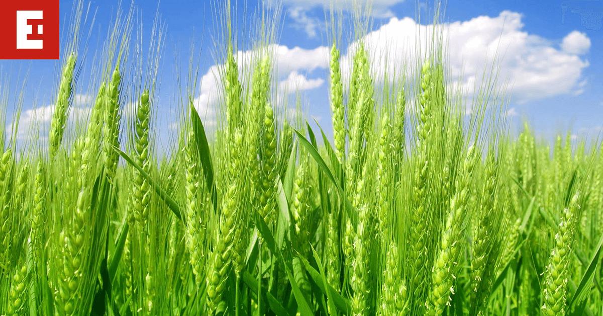 wheat earlham institute