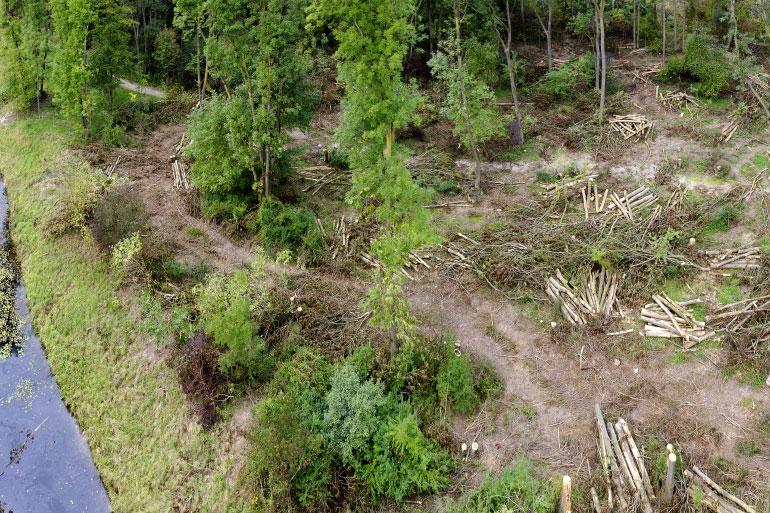 European trees affected by ash dieback disease being cleared