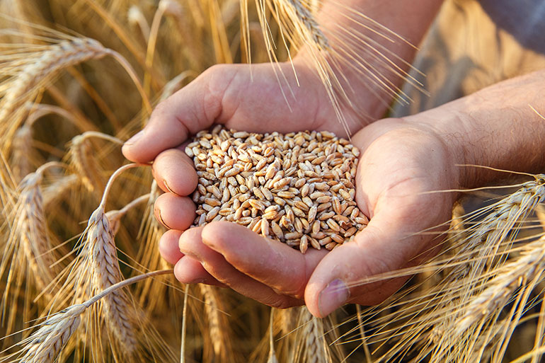 Image of a farmer holding wheat grain