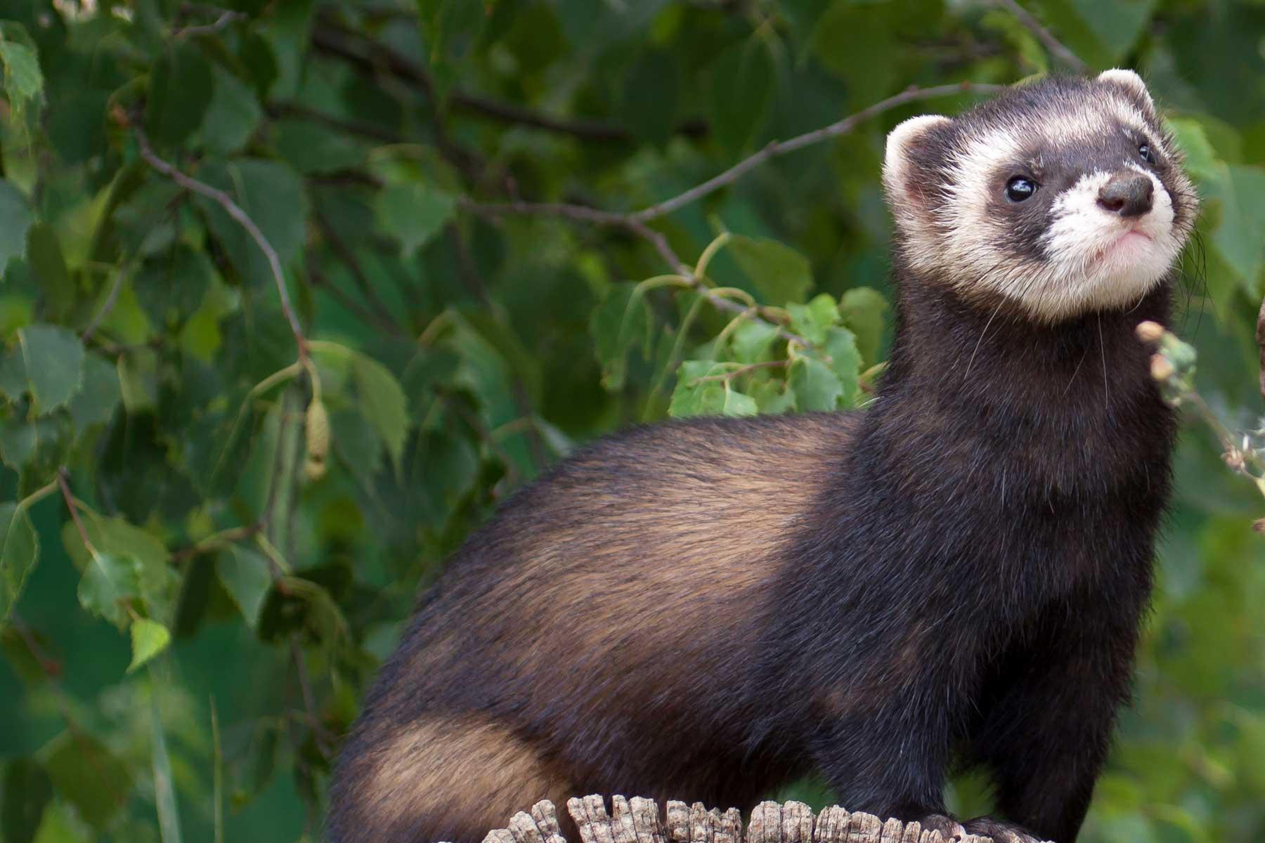 A conservation success story: the European Polecat