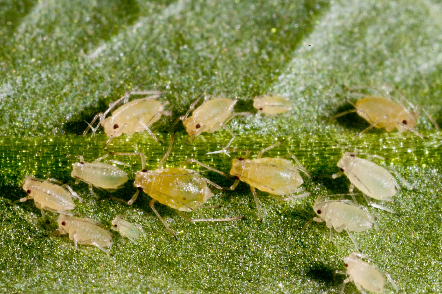 Aphids - the versatile agricultural nuisance