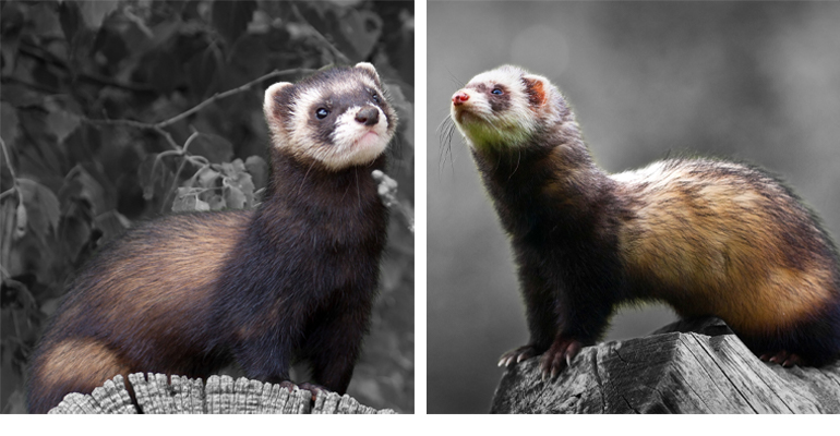 A side by side photo of a polecat-ferret hybrid and the 'true' polecat, particularly with different colouration over the face