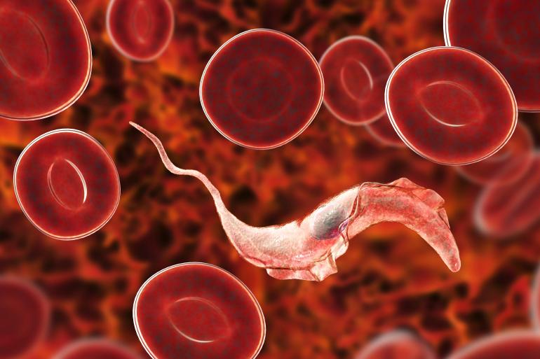 Trypanosoma cruzi parasite that causes Chagas disease