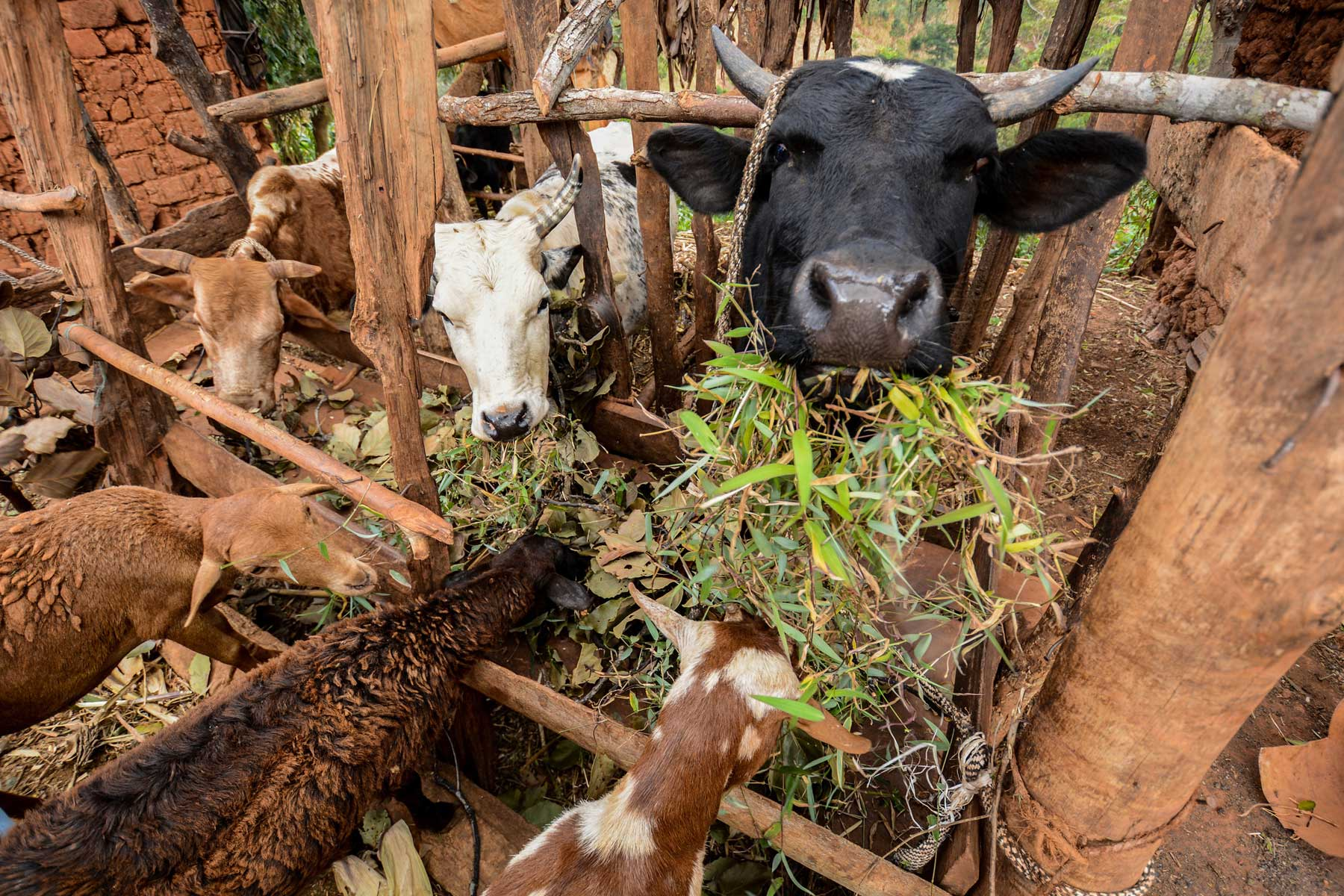 Study identifies candidate genes to accelerate tropical forage breeding