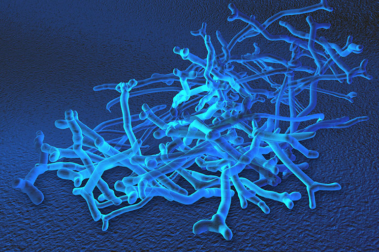 Image: bifidobacteria, which make up most of a newborn's natural gut microbiota.