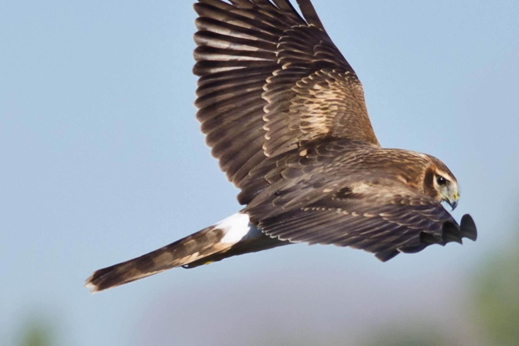 A harrier flying