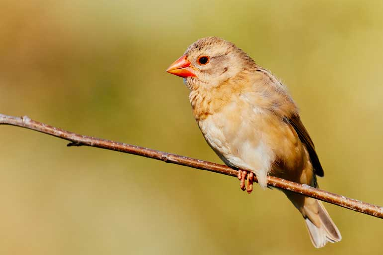 Red-billed Quelea on a branch