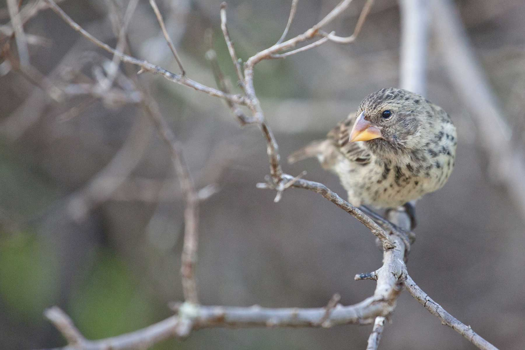 What could we tell Darwin about his finches today?