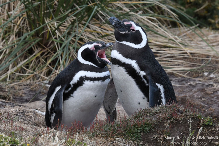 Magellanic Penguins at Gypsy Cove, Port Stanley, Falkland Islands