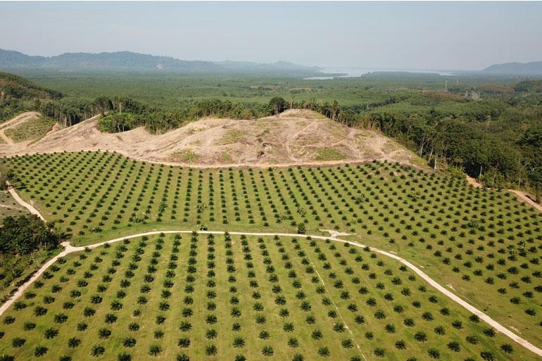 Deforestation for Palm oil production