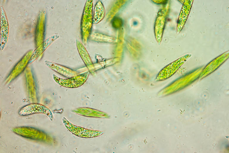 Image: Single-celled flagellate Eukaryote Euglena under the microscope