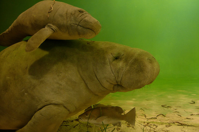 Amazonian Manatee with her calf