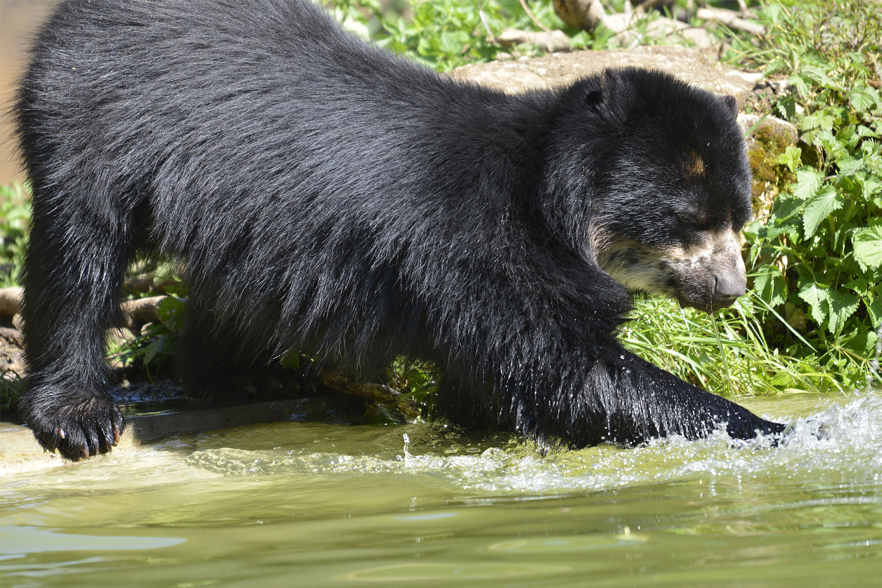 GROW Colombia: recovering the Andean Bear