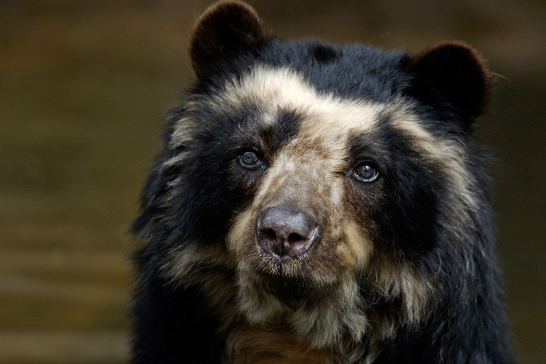 GROW Colombia - Andean Bear - Paddington's cousin