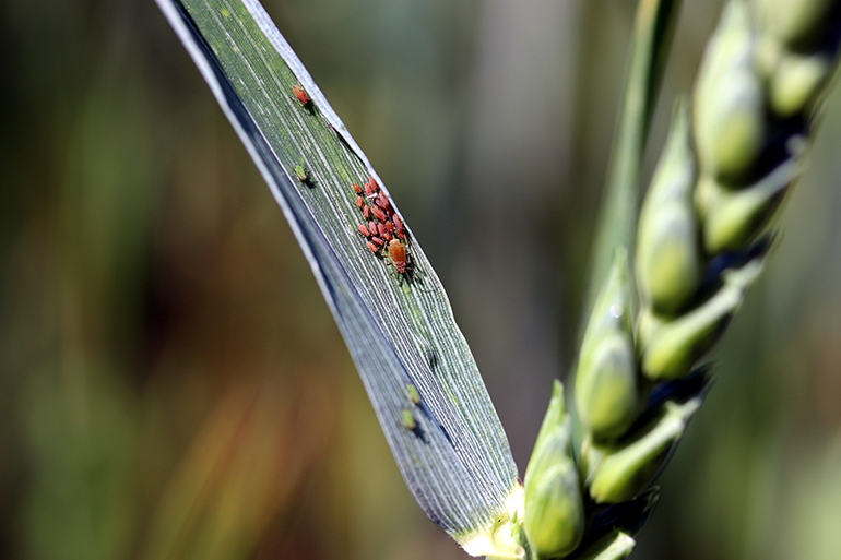 Aphids, which spread diseases, on an ear of wheat.