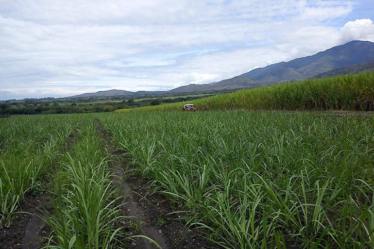 Image: A sugarcane plantation, Cali, Colombia. Credit: Dr Nasmille Larke-Mejía