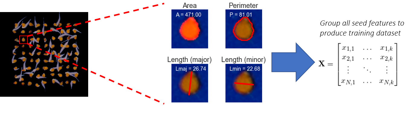 The process of transforming an image of segmented seeds into a training matrix of morphological features.
