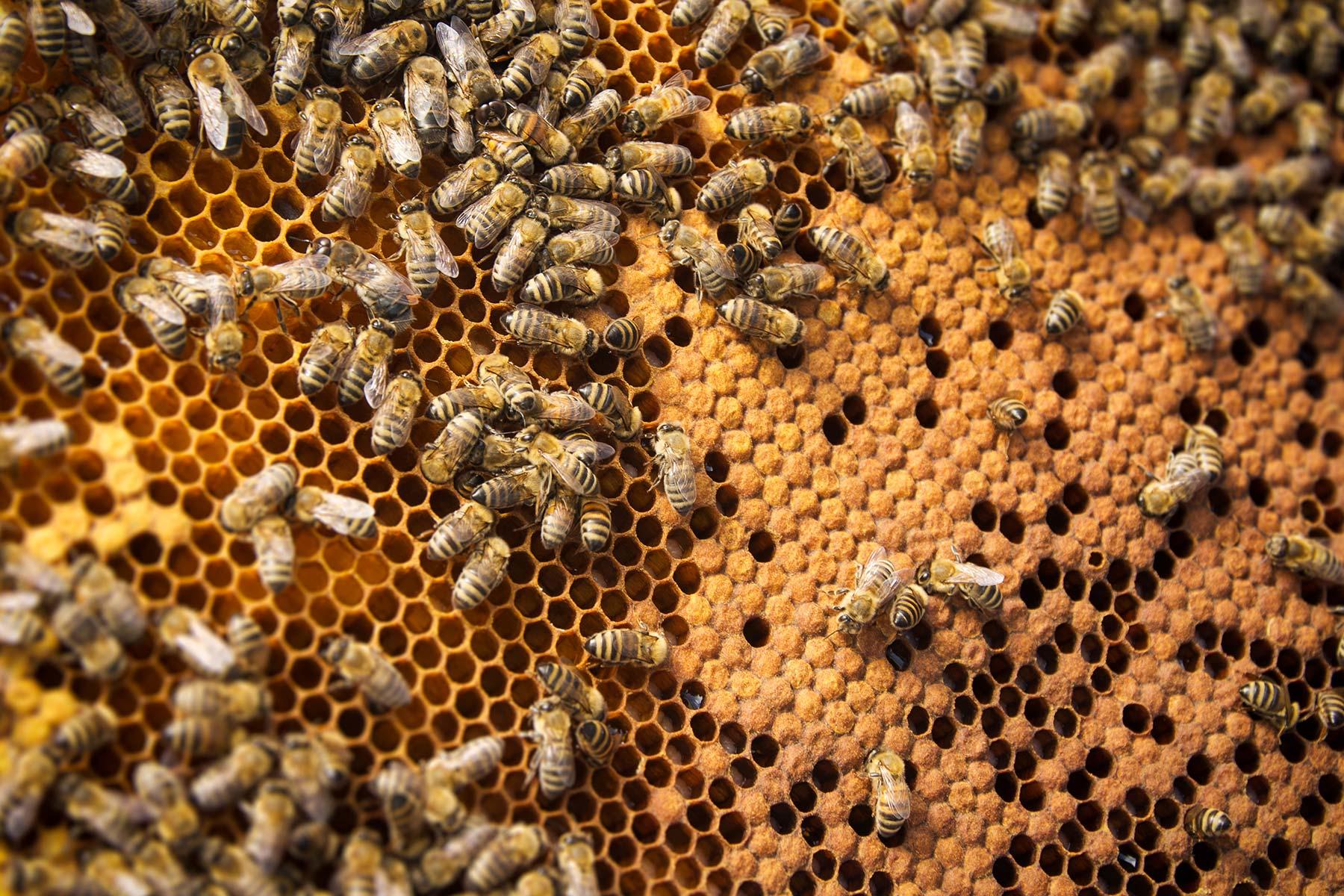 Moku virus highlights potential threat to pollinators worldwide