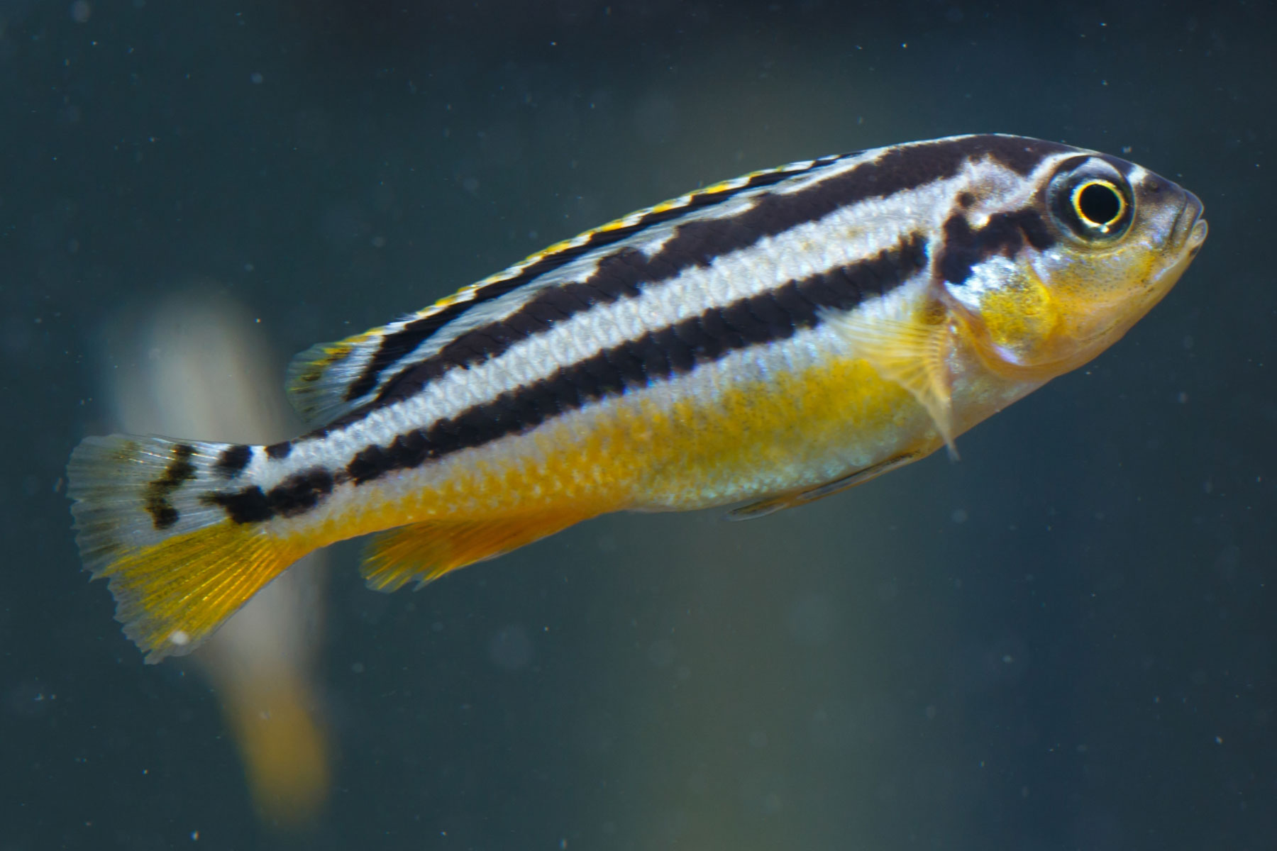 Danio rerio (zebrafish) is a good model organism for interaction data in the SignaLink tool