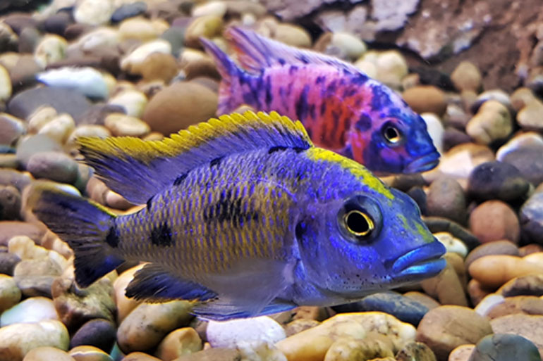 African cichlids, contemplating their ability for adaptive radiation and mouth brooding