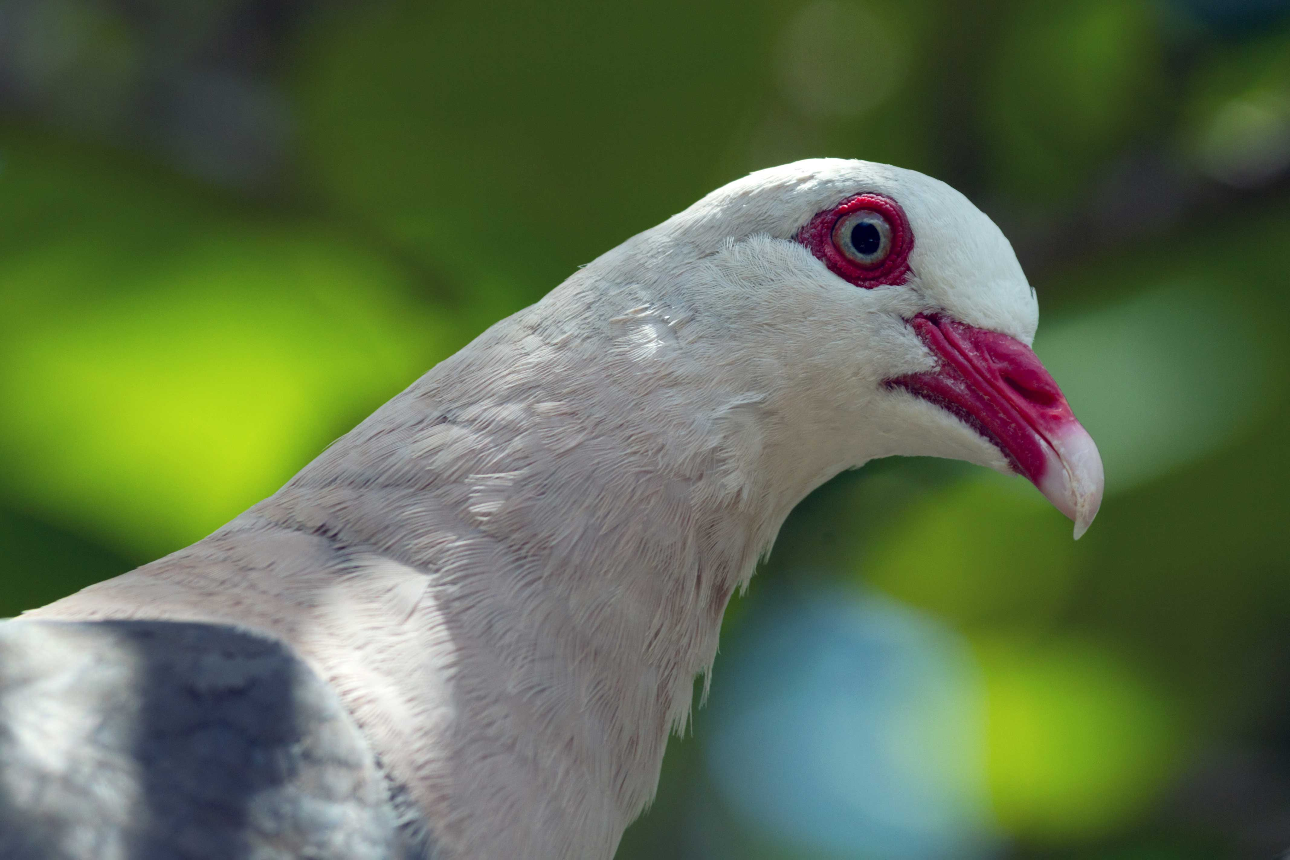 The Pink Pigeon: on and off the brink of extinction