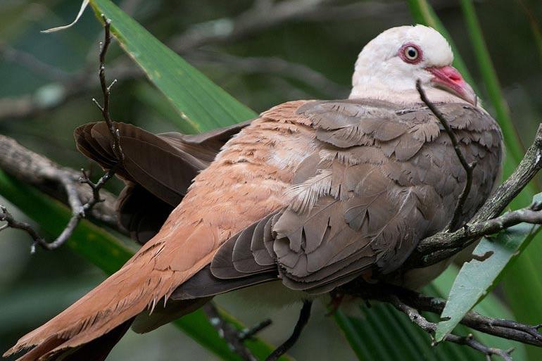 Mauritian Pink Pigeon