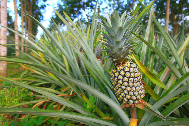 Not all Bromeliads grow on trees. Pineapples (Ananas) grow out of the ground, from a leafy plant.