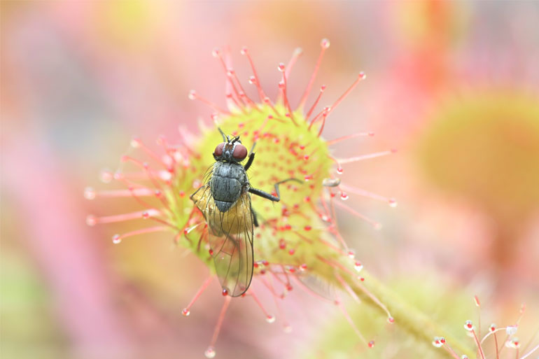 Sundew (Drosera rotundifolia) feeding on a fly