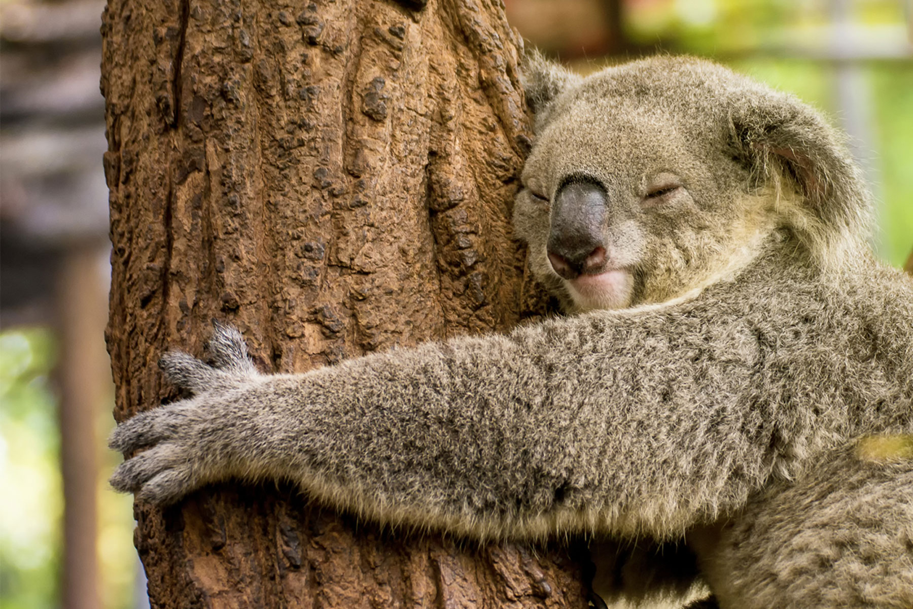 A koala clinging tightly to a tree