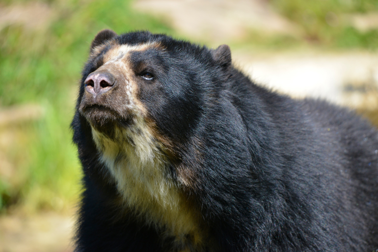 Andean Bear, also known as the Spectacled Bear, found in remote forests of Colombia and Peru