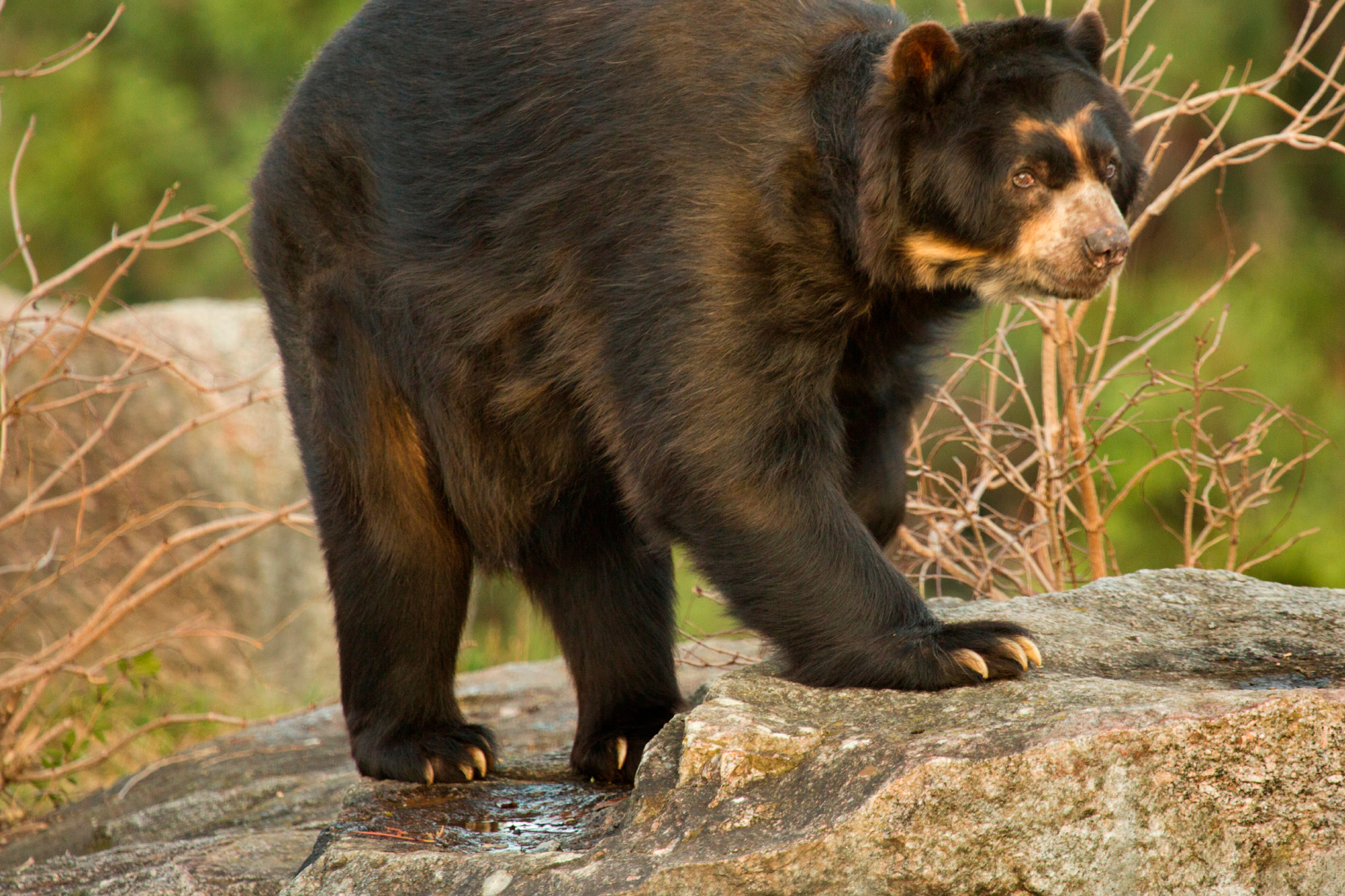 Saving the spectacled bear of deepest, darkest Colombia