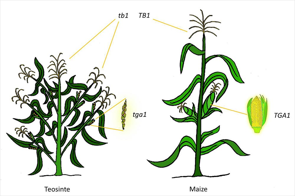 Genetic changes in wild tesosinte
