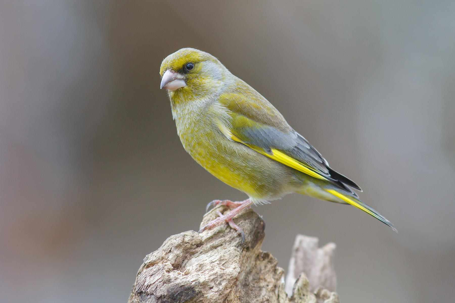 Image: A greenfinch which is susceptible to the parasite Trichomonas gallinae