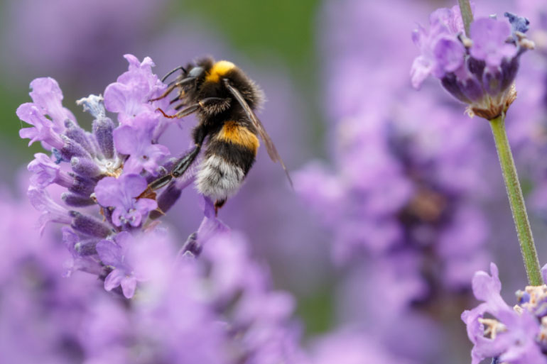 Where bees roam - pollinate this - bees in a wildflower meadow