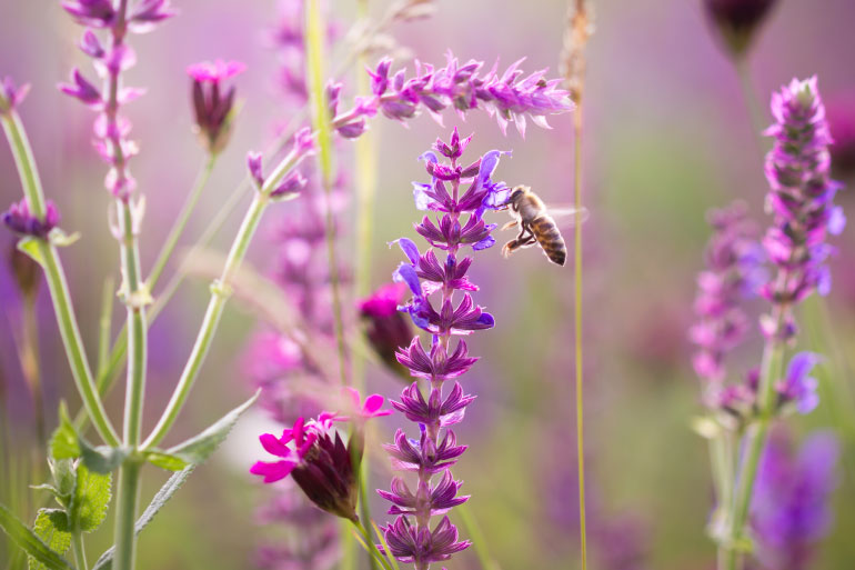 Where bees roam - pollinate this - bee in wildflower meadow
