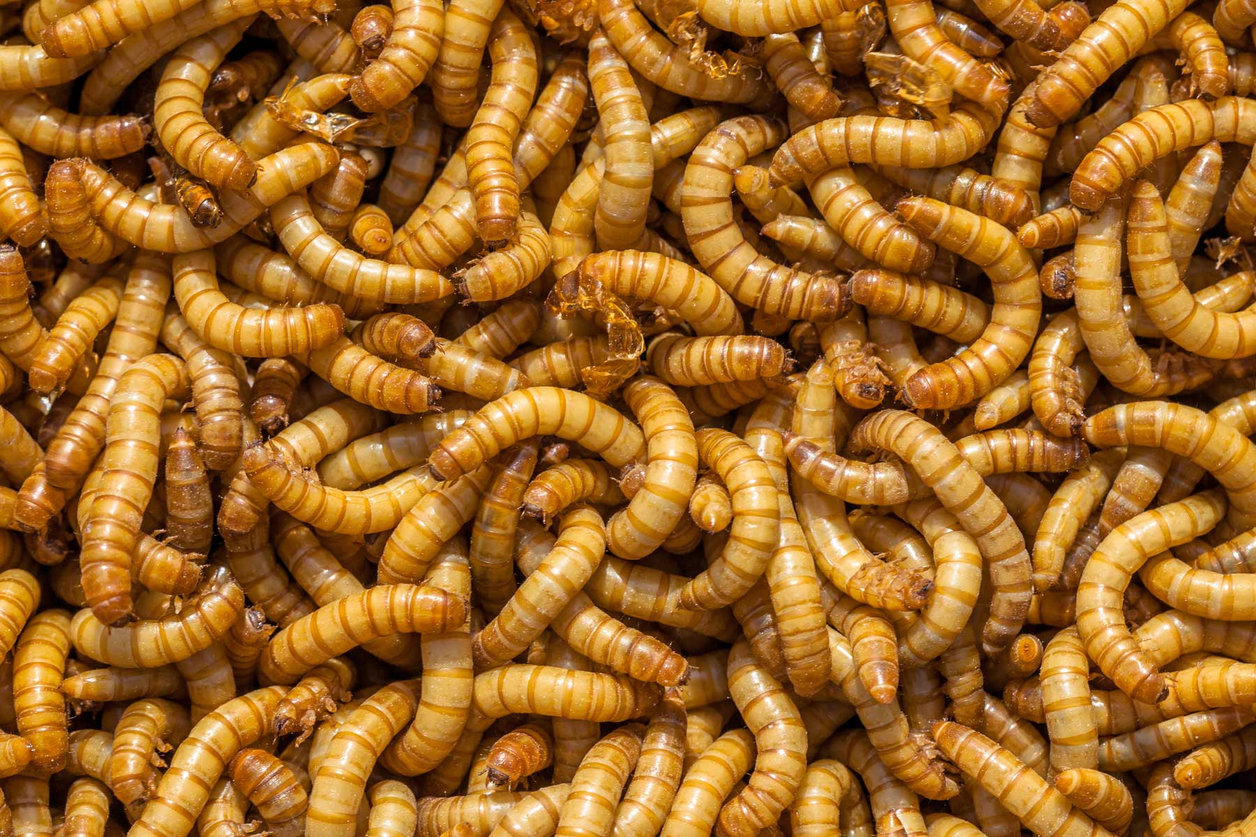 Why eat bugs? Insect biotechnology solutions with entomics.