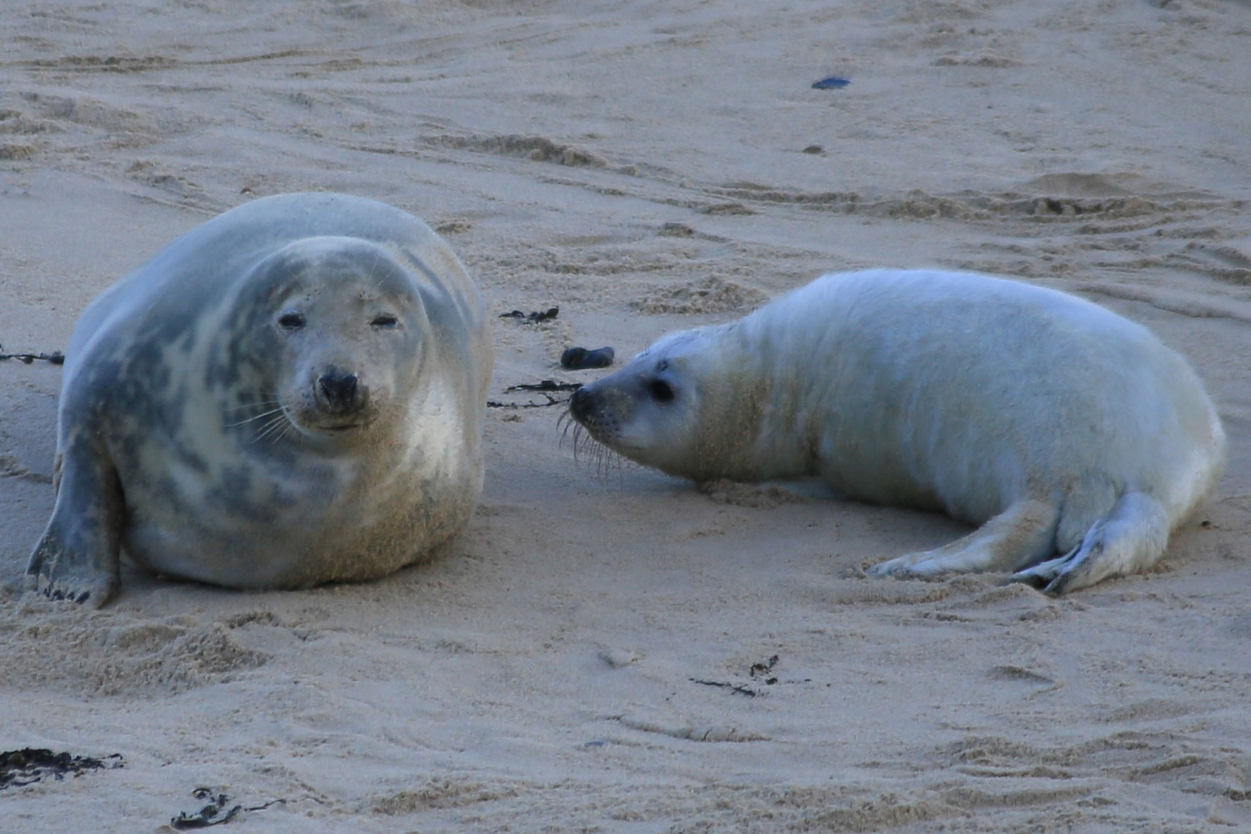 Seal with seal pup on the beach at Horsey gap, Norfolk