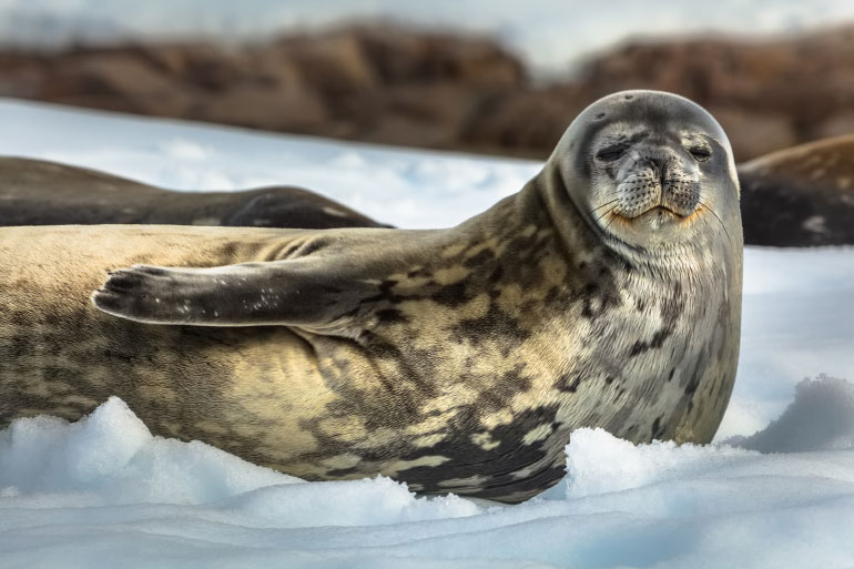 Studying non-human genomes like that of the Weddell Seal could also be useful for therapeutic treatments for human diseases