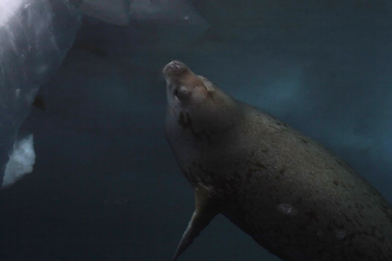 The Weddell Seal can dive deep in icy Antarctic waters while chasing prey for up to sixty minutes