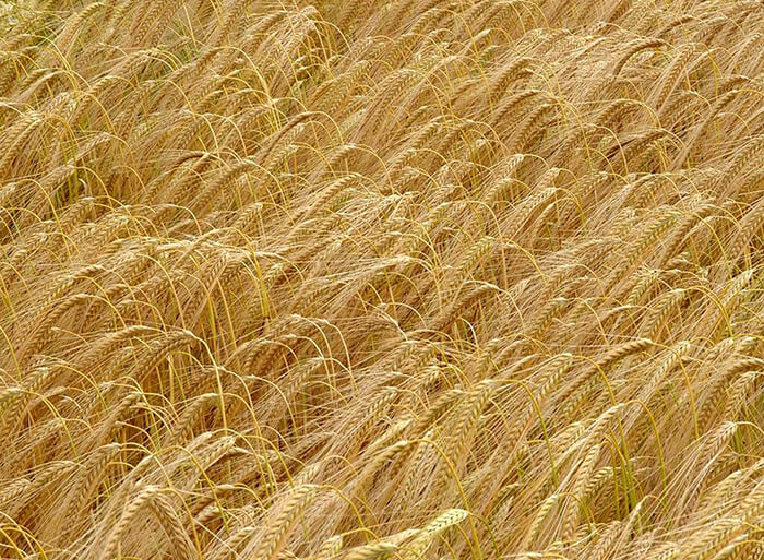 Better barley is on the way: crop genome unravelled