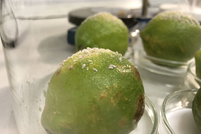 Pheromone power - bringing 'SexyPlant' back to defy crop pests